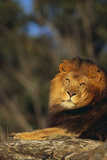 Lion Lying on Rock Photographic Print by  DLILLC