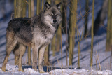 Gray Wolf Standing by Trees Photographic Print by  DLILLC