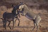 Zebras Fighting Photographic Print by  DLILLC