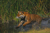 Bengal Tiger Running in Marsh Photographic Print by  DLILLC