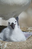 Black-Browed Albatross Chick Photographic Print by  DLILLC