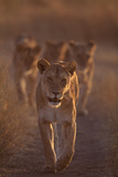 Lioness on Trail Photographic Print by  DLILLC