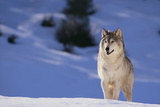 Gray Wolf in Snow Photographic Print by  DLILLC