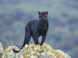 Black Panther Photographic Print by  DLILLC
