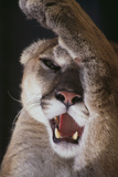 Mountain Lion Rubbing its Face Photographic Print by  DLILLC