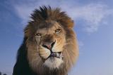 Lion Snarling Fotografie-Druck von  DLILLC
