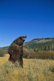 Grizzly Roaring in Mountain Meadow Photographic Print by  DLILLC