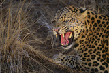 Leopard Snarling Photographic Print by  DLILLC