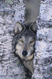 Gray Wolf Hiding in Trees Photographic Print by  DLILLC