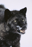 Black Wolf Snarling in Snow Photographic Print by  DLILLC