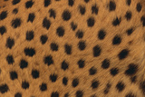 Cheetah Fur Photographic Print by  DLILLC