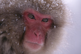 Japanese Macaque Photographic Print by  DLILLC