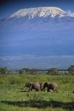 African Elephants Walking in Savanna Photographic Print by  DLILLC