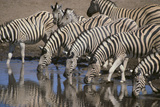 Zebras Drinking at Pond Photographic Print by  DLILLC