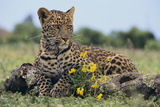 Young Leopard Sitting on Log Photographic Print by  DLILLC