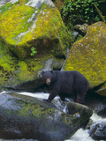 Black Bear in Stream Photographic Print by  DLILLC