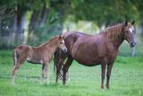 Peruvian Paso Colt with Quarter Horse Mare Reproduction photographique par  DLILLC