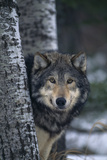 Gray Wolf behind Trees Photographic Print by  DLILLC