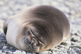 Sleeping Southern Elephant Seal Photographic Print by  DLILLC