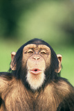 Chimpanzee Puckering its Lips Photographic Print by  DLILLC