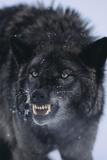 Black Wolf Snarling in Snow Fotografiskt tryck av  DLILLC