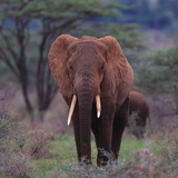 African Elephant Walking Photographic Print by  DLILLC