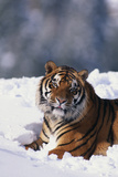Bengal Tiger Sitting in Snow Photographic Print by  DLILLC