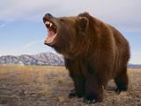 Grizzly Bear Photographic Print by  DLILLC