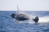 Humpback Whale Breaching Photographic Print by  DLILLC