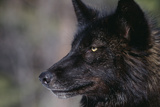 Black Gray Wolf Photographic Print by  DLILLC
