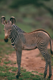 Young Grevy's Zebra Photographic Print by  DLILLC