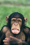 Frowning Chimpanzee Photographic Print by  DLILLC