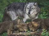 Gray Wolf and Pups Photographic Print by  DLILLC