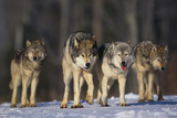 Gray Wolf Pack in Snow Reproduction photographique par  DLILLC