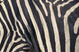 Zebra Stripes Photographic Print by  DLILLC