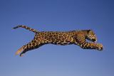 Jaguar Jumping through Sky Photographic Print by  DLILLC