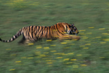 Bengal Tiger Racing through Grass Photographic Print by  DLILLC