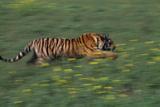 Bengal Tiger Racing through Grass Photographic Print by  DLILLC