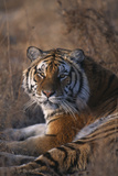 Siberian Tiger Photographic Print by  DLILLC