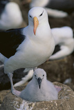 Black-Browed Albatross and Chick Reproduction photographique par  DLILLC