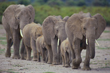 African Elephants Walking in Line Photographic Print by  DLILLC