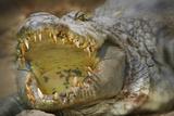 Nile Crocodile Impressão fotográfica por Jon Hicks