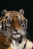 Bengal Tiger Photographic Print by  DLILLC