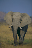 African Elephant Walking in Grass Photographic Print by  DLILLC