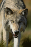 Snarling Gray Wolf Photographic Print by  DLILLC