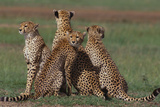 Cheetahs in Grass Photographic Print by  DLILLC