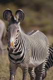 Grevy's Zebra Photographic Print by  DLILLC