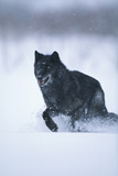 Black Gray Wolf Running in Snow Photographic Print by  DLILLC