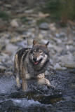 Gray Wolf Crossing a River Photographic Print by  DLILLC
