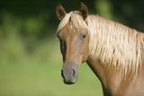 Palomino Stallion Reproduction photographique par  DLILLC